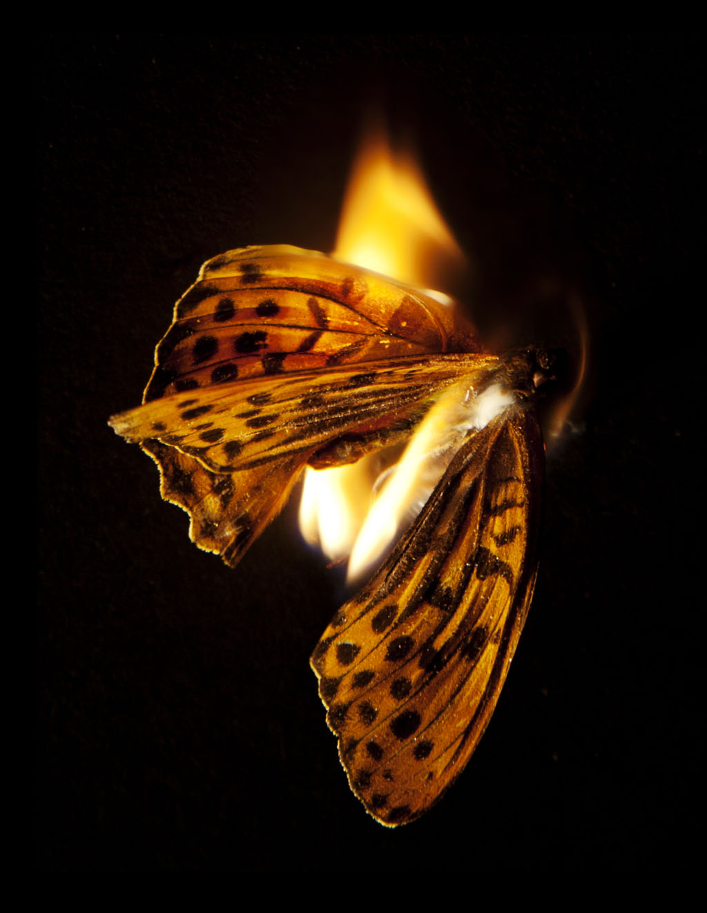 Mat Collishaw Burning Butterfly 25, 2013 fotografia C-type, 80x109cm