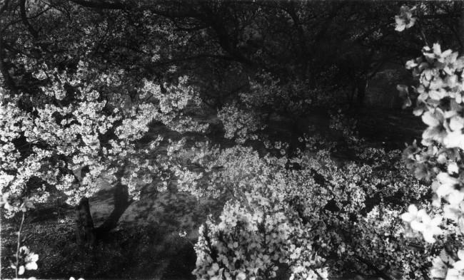 Daido Moriyama, Cherry Blossom, 1972, fotografia b/n, Collezione Fondazione Cassa di Risparmio di Modena