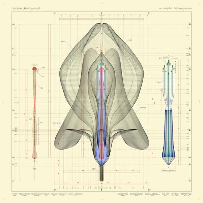 Macoto Murayama, Lathyrus odoratus L_digital c-print, cm 100x100 © Viasaterna - Frantic