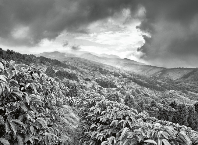 Sebastião Salgado, Profumo di Sogno, Coltivazioni di caffè Llano Bonito de Sarcero, Regione Centrale, Costa Rica 2013,  © Sebastião Salgado/Amazonas Images