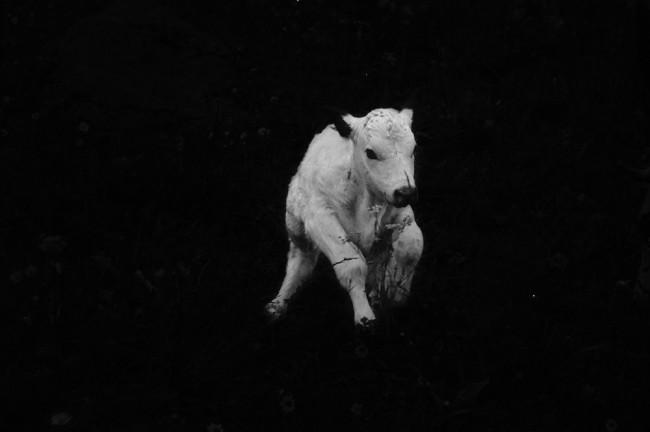 Ilaria Ferretti, Vitello | Calf