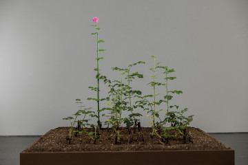 Fatma Bucak, Damascus rose, 2016 - on going installation view, David Winton Bell Gallery, 2016 Damask rose cuttings from Damascus cultivated in rose plants ph. Jesse Banks III - © Fatma Bucak